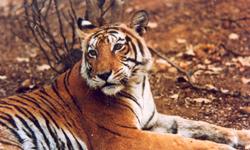 Tigre de Sariska