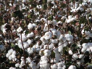 A tecnologia, aplicada a plantas como o algodão, permite o crescimento de plantas em solos mais pobres Foto: kendobsb/Flickr