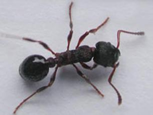 Os padrões de comportamento social das formigas foram aplicados aos robôs Foto: DR