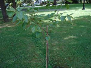 """A árvore """"kaki"""" é descendente da única árvore que sobreviveu à bomba nuclear em Nagasaki Foto: Vanessa Sena Sousa"""