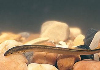 Será criado plano de gestão para assegurar a sobrevivência das lampreias Foto: Quercus