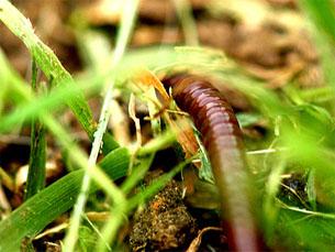 As minhocas digerem os resíduos orgânicos de quase todos os materiais Foto: Flickr