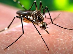 A anofelina, molécula presente no mosquito da Malária, pode vir a ser fundamental no tratamento e prevenção de doenças cardiovasculares Foto: DR