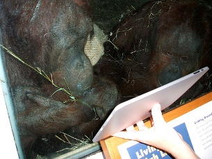 Os orangotangos têm dado mostras da sua inteligência ao jogarem no tablet Foto: unnormalized/Flickr