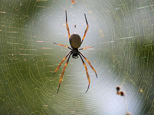 Se colocarmos as aranhas ao lado de outros animais, os cães são muito mais perigosos, diz Luís Crespo Foto: Henry Oon/Flickr