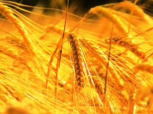 Preços do trigo subiram 83% desde 2007. Foto: Flickr
