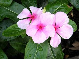 """A Vinca é conhecida como """"alegria"""" e pode ser encontrada em vários jardins Foto: Nemo's great uncle /  Flickr"""