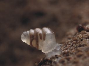 Zospeum Tholussum é uma das principais espécies descobertas em 2013 Foto: J. Bedek / Alexander M. Weigand