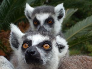 Estudar o efeito que a perda de habitat exerce nos lémures de Madagáscar é o objetivo de uma das bolsas oferecidas Foto: Angela Perez/Flickr