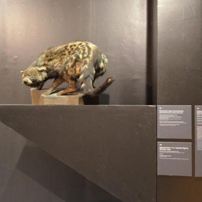 Civeta-africana, também conhecida por gato almiscarado. As glândulas anais segregam um óleo acre, com almíscar, usado na produção de perfumes. A rainha D. Catarina de Áustria, esposa de D. João terceiro, possuía 10 animais destes, que eram muito valiosos.