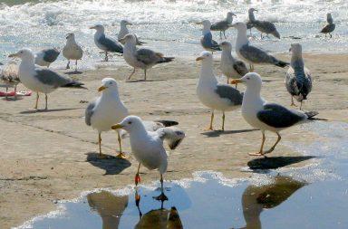 Último estudo sobre população de gaivotas data de 2011.