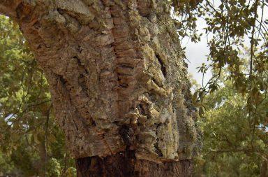 O sobreiro é classificado como Árvore Nacional de Portugal desde 2011.
